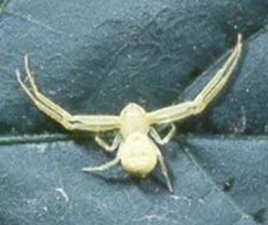 Crab spiders - Pest control services in Bolivar, OH and Canton, OH