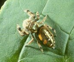 Jumping spiders - Pest control services in Bolivar, OH and Canton, OH