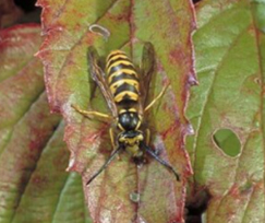 Yellowjackets - Pest control services in Bolivar, OH and Canton, OH